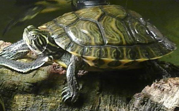 Красноухаячерепаха фото