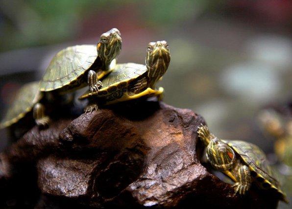Красноухие черепахи красивое фото