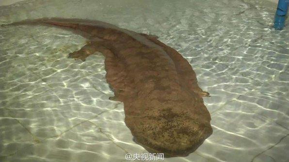 Обнаружена большая редкая саламандра!