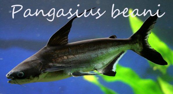 высокоплавничный пангасиус