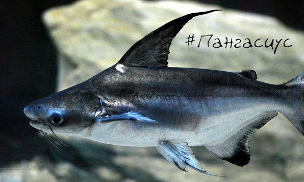 Акулий сом пангасиус - хищная аквариумная рыба