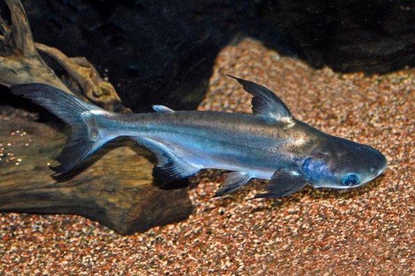 Акулий сом пангасиус фото