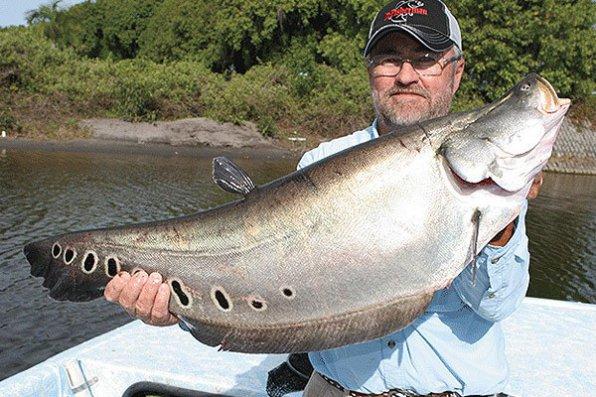 Индийский нож - хищная аквариумная рыба