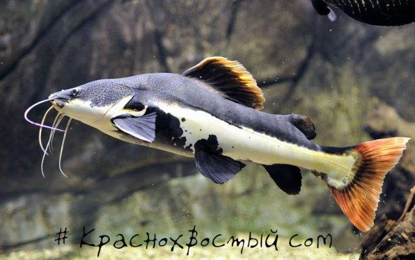 Краснохвостый сом - хищная аквариумная рыба