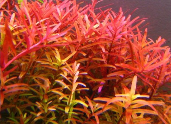 Rotala macrandra narrow leaf