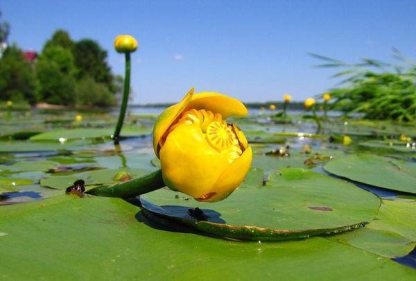 кубышка жёлтая фото