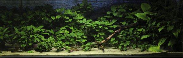 Анубиасы в аквариуме фото