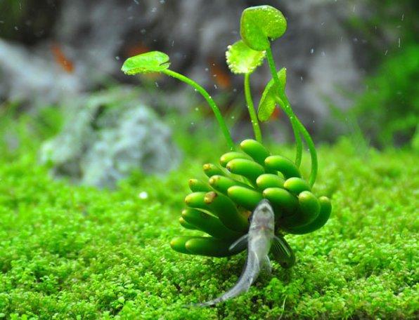 Нимфоидес акватика или Банан водный