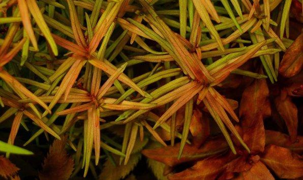 Дидиплис диандра или Бутерлак двухтычинковый фото