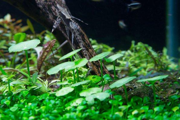 Гидрокотила вертикальная, щитолистник мутовчатый, Водяной пупок фото