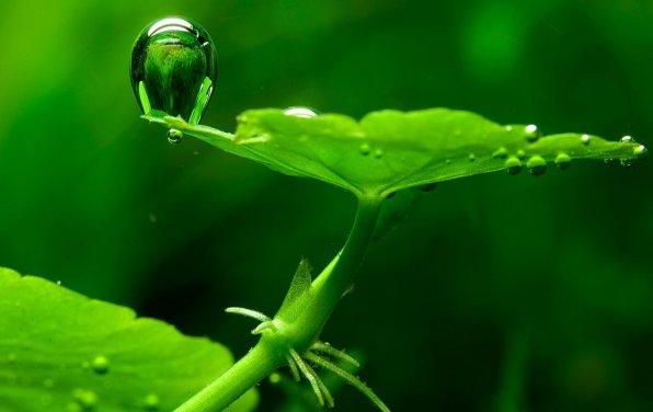 Гидрокотила белоголовая или щитолистник белоголовый фото