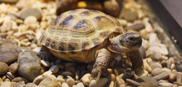 Среднеазиатская черепаха фото