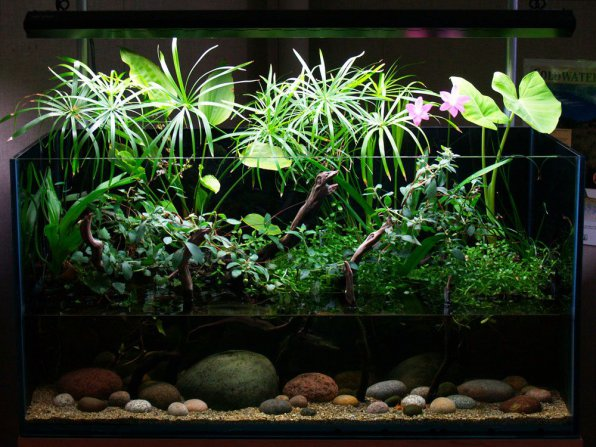 Кринум пурпурный в аквариуме фото