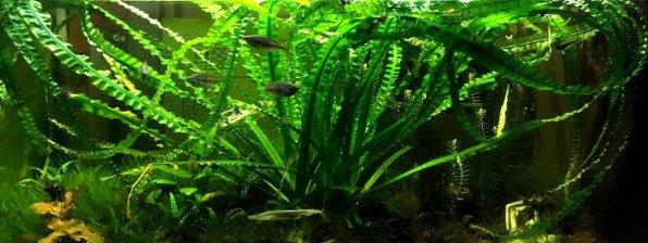 Кринум плавающий в аквариуме фото