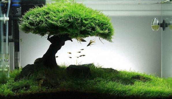 Яванский мох фото