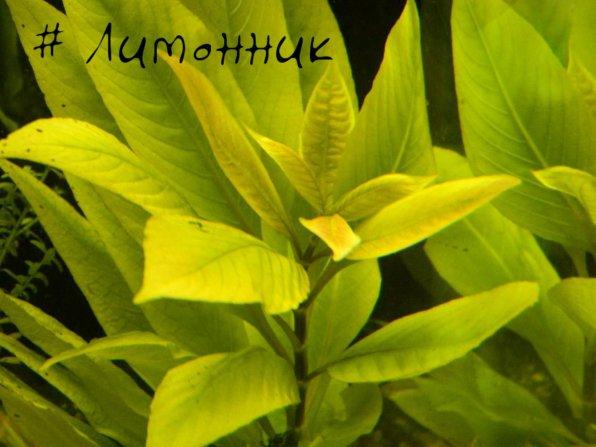Лимонник или номафила прямая