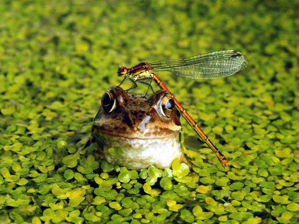 ряска лягушка фото