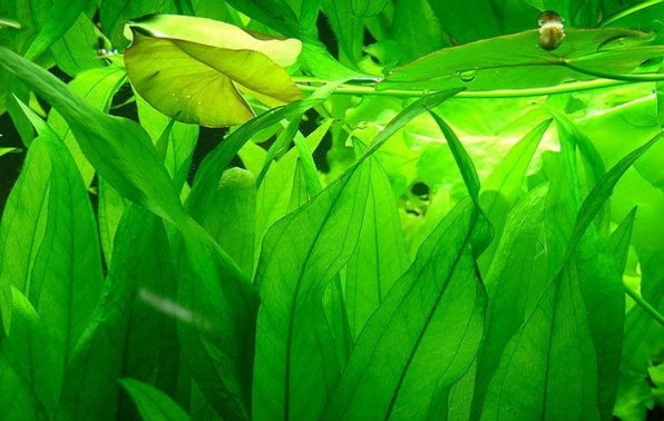 Эхинодорус амазонка фото