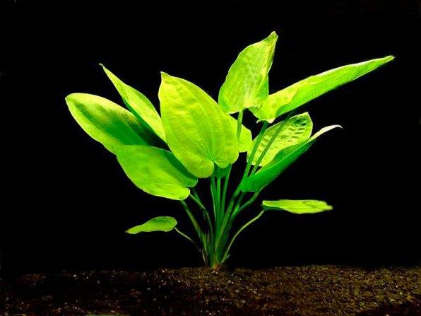 Эхинодорус горизонтальный фото