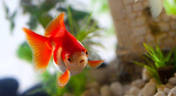 Как лечить опухоль, язвы, дырки на голове и теле рыбки?
