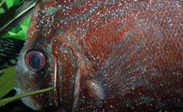 Оодиниумоз рыб фото
