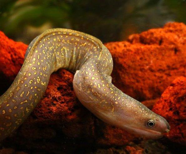 Пресноводная мурена - хищная аквариумная рыба