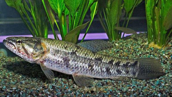 Рыба-волк траира хоплиас малабарский - хищная аквариумная рыба