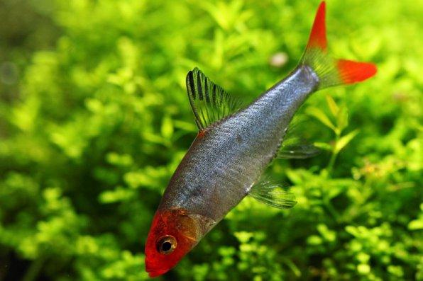 Савбва красноносая рыбка фото