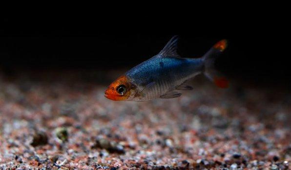 Савбва рыбка для аквариумного кубика