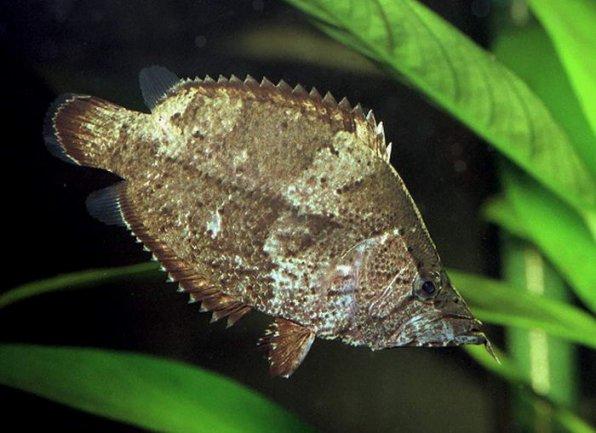 Рыба лист фото