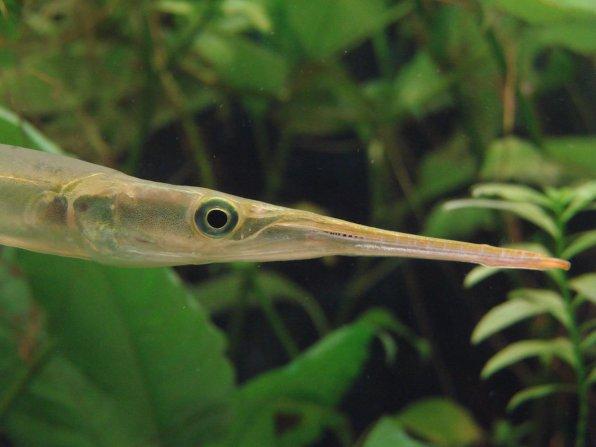 Рыба игла пресноводный сарган фото
