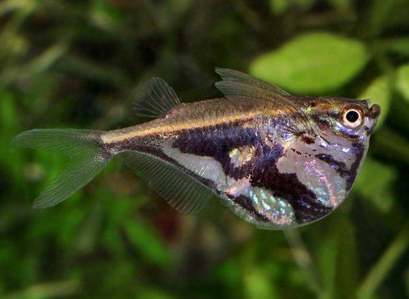Рыба–топорик или карнегиелла мраморная фото