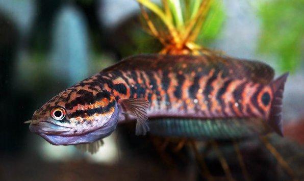 Змееголов азиатский - хищная аквариумная рыба