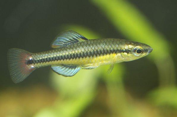 Лукания рыбка фото