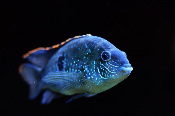 Акара голубовато пятнистая фото