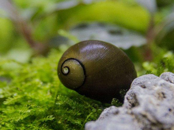 Оливковая улитка неретина
