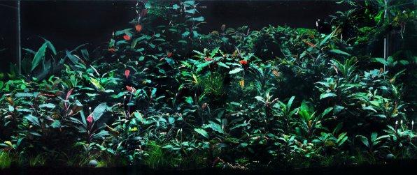 Буцефаландра в аквариуме