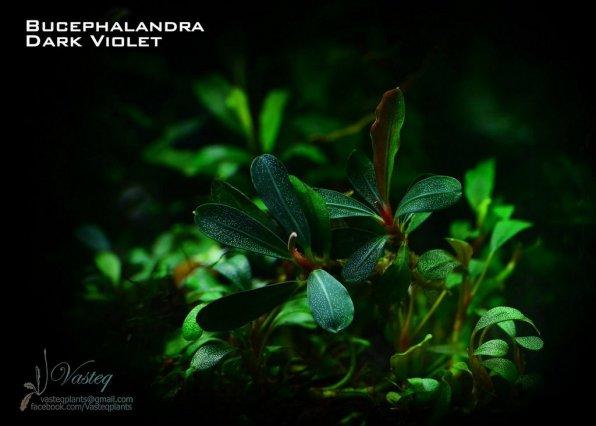 Буцефаландра в аквариуме фото