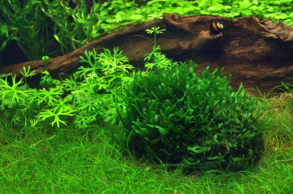 Моносолениум тенерум или мох пеллия фото