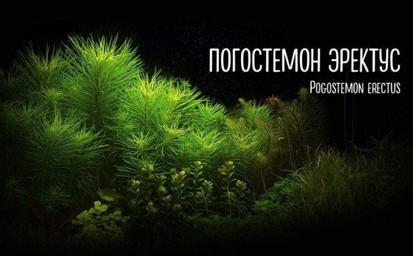 Погостемон эректус фото