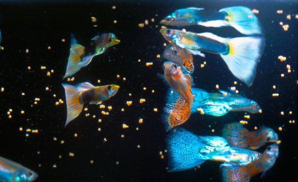 Как кормить рыбок гуппи
