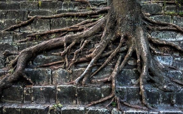 Корни растения облегающие камни