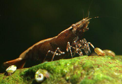 Бабаулти коричневая - Caridina babaulti Brown