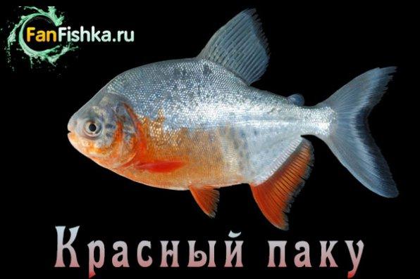 красный паку аквариум
