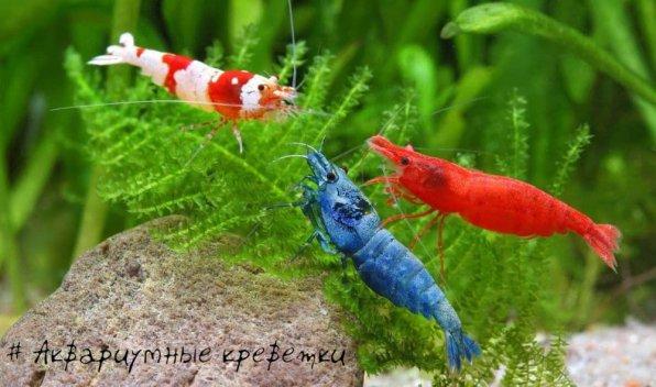 виды креветок в аквариуме