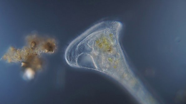 Инфузория трубач (Stentor) в аквариуме фото
