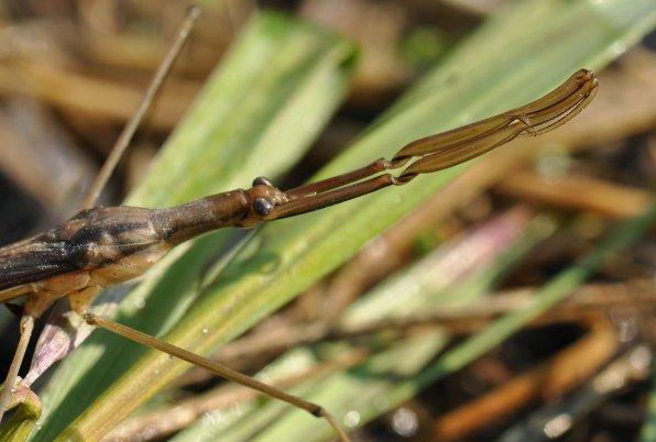 Ранатра или водяной скорпион (Ranatra) в аквариуме фото