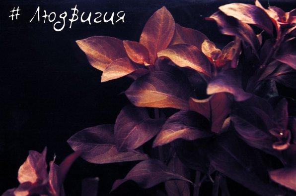 Людвигия аквариумное растение