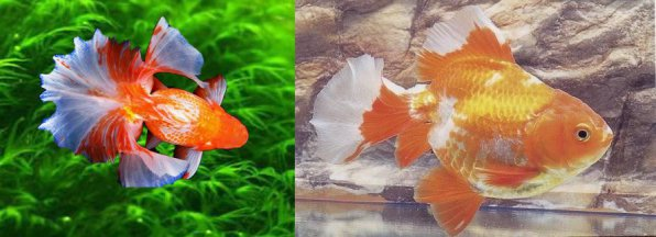 Тосакин золотая рыбка фото
