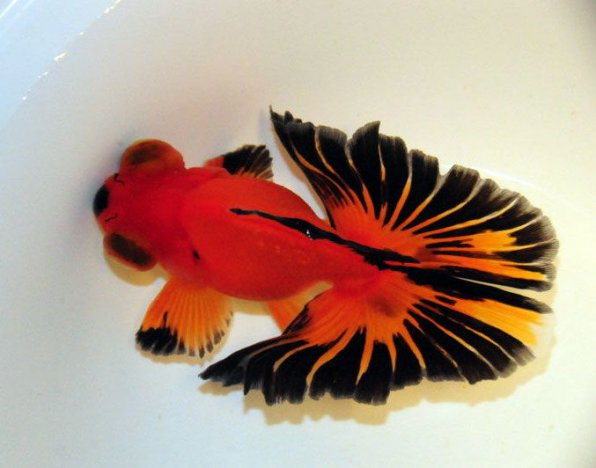 Бабочка золотая рыбка фото